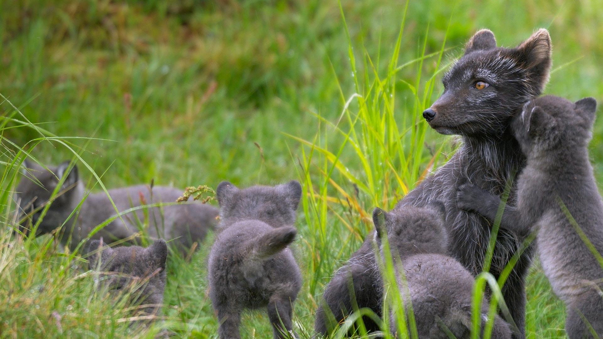 北极狐妈妈和孩子们图片素材