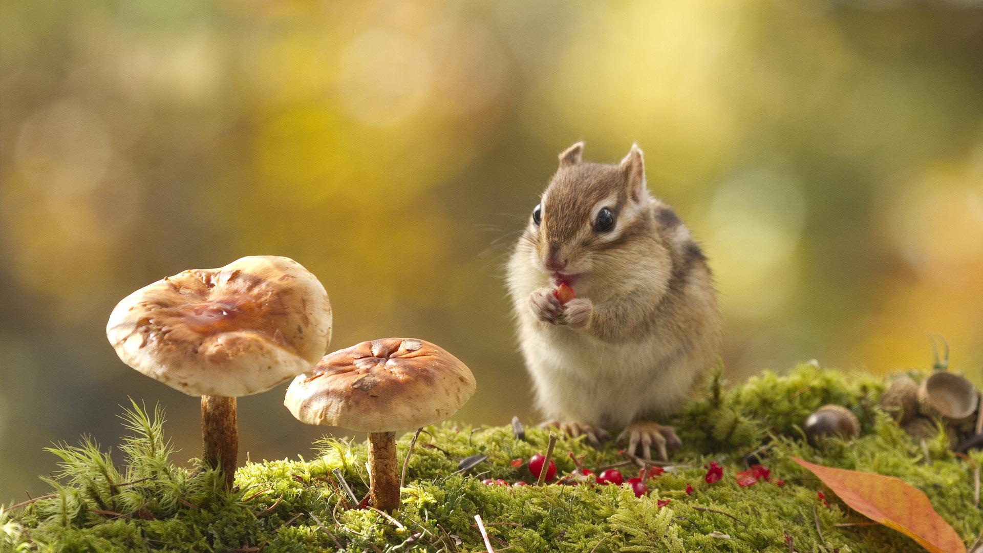 蘑菇旁的花栗鼠图片素材