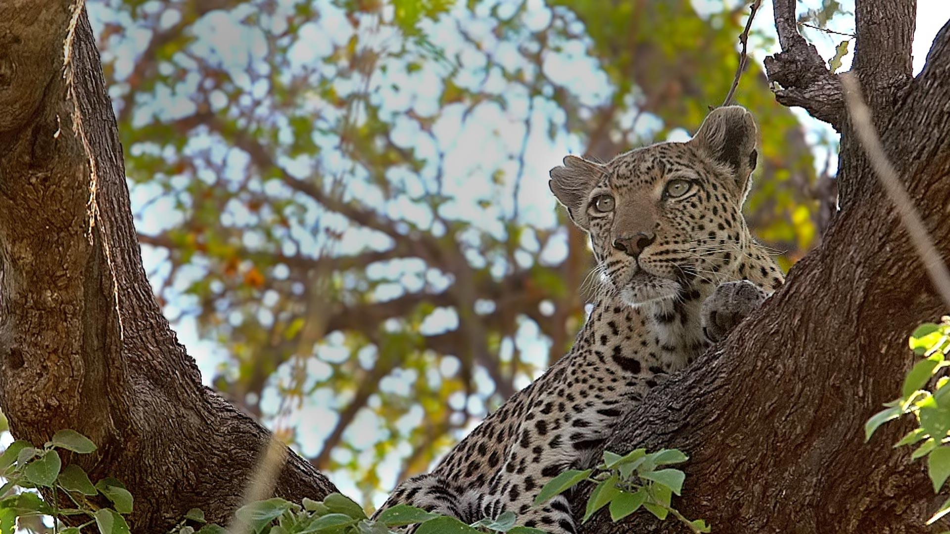 树上的豹图片素材