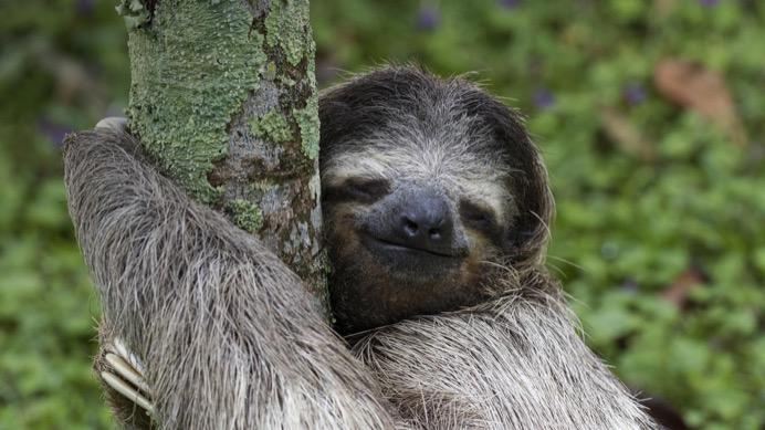 微笑的树懒ppt图片素材免费下载