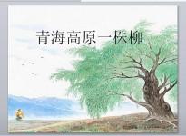 苏教版十一册15青海高原一株柳优秀课件PPT免费下载
