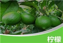 简洁水果主题绿色柠檬背景ppt模板