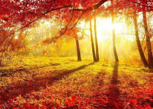 唯美枫树林图片